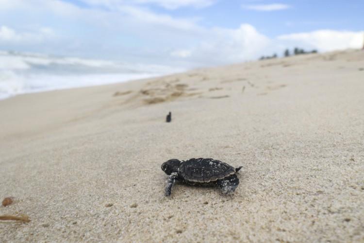 A Praia do Futuro, em Fortaleza, é um dos lugares em que as tartarugas escolhem para colocar seus ovos. (Foto: Tatiana Fortes/30/5/2019)