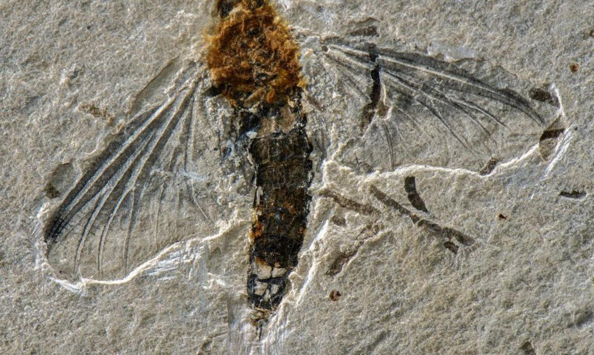 Incogemina nubila: com o fóssil raro, descreveram a primeira mortandade seletiva de insetos aquáticos.