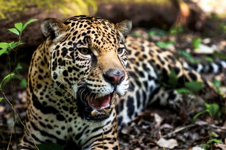 Onça pintada (Panthera onca (Linnaeus, 1758) é classificada como