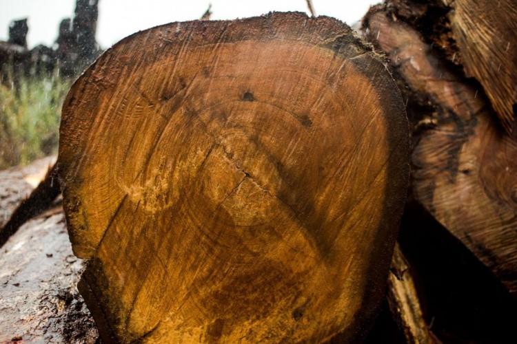 Juína, MT, Brasil: Toras de madeira extraídas ilegalmente da terra indígena Manoki apreendidas pelo IBAMA. (Foto: Marcelo Camargo/Agência Brasil) (Foto: Marcelo Camargo/Agência Brasil)