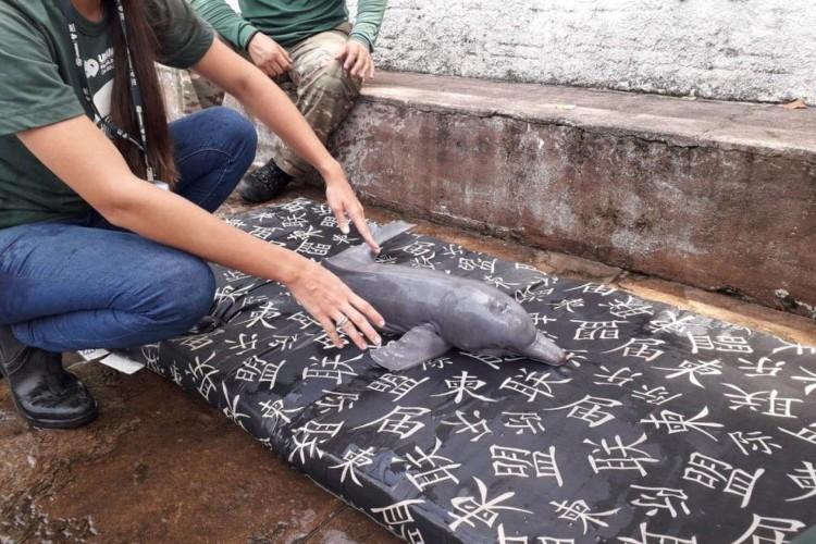 Filhote de boto tucuxi foi encontrado encalhado no fim do ano passado, no Rio Tapajós, que deságua no rio Amazonas (Foto: Foto: Semma Santarém/Divulgação)