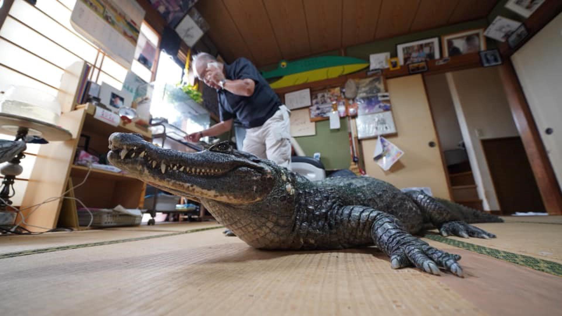 Nada de cachorro, gato ou papagaio. O animal de estimação acolhido pelo japonês Nobumitsu Murabayashi é um crocodilo