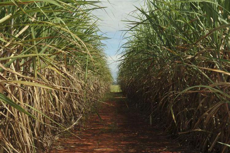 Produção da safra atual de cana-de-açucar deve crescer 3,5%, diz Conab (Foto: )