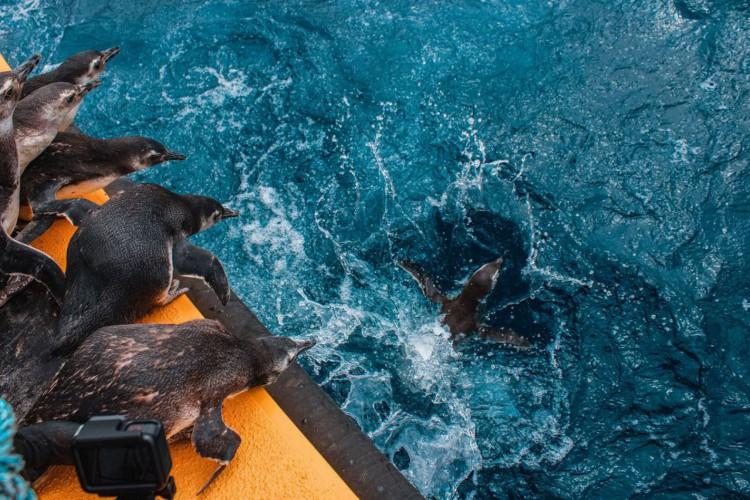 Pinguins,Soltura (Foto: PMP-BS/Agência Petrobras)