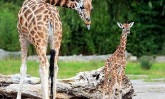 A girafa, o animal mais alto da Terra, é apontada como o mamífero que menos dorme