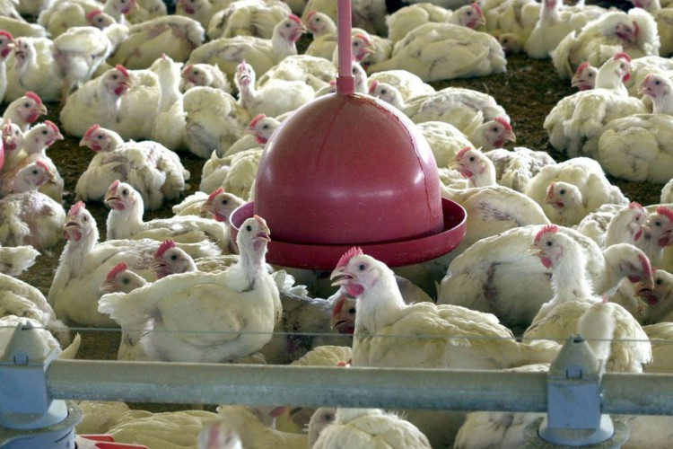 Ministério da Agricultura abre consulta sobre funcionamento de granjas (Foto: Divulgação)