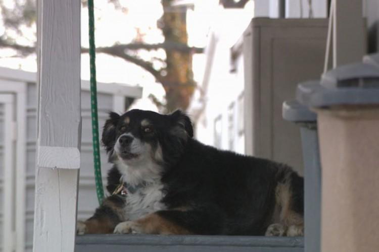 O dono de Lulu era um empresário, que tinha investimentos imobiliários. Ele deixou US$ 5 milhões para a cadela, de oito anos, da raça border collie  (Foto: (Reprodução WTVF))