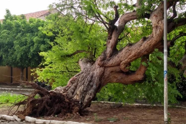 Tamarineira caída no município de Icó (Foto: Richard Lopes)