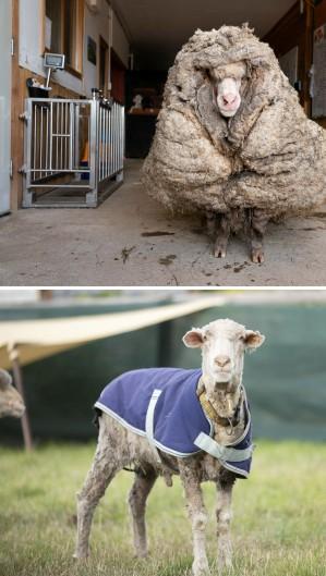 Uma ovelha selvagem que foi encontrada vagando pela selva australiana com um enorme casaco de 35 kg (Foto: Handout / Edgar's Mission / AFP)
