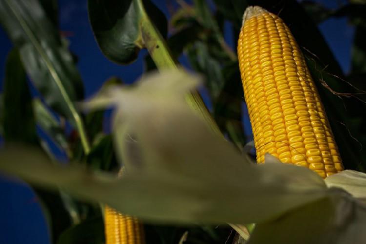 PADF. Colheita de milho para silagem. Lavoura de milho. Foto: Wenderson Araujo/Trilux. (Foto: CNA/Wenderson Araujo/Trilux)