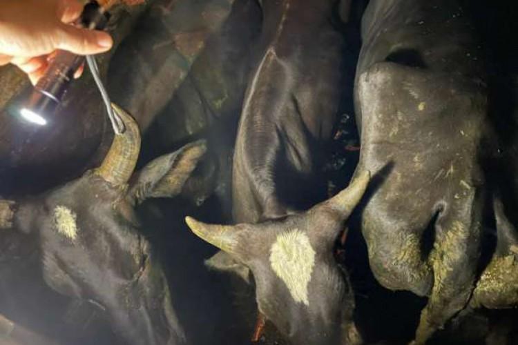 Imagem do gado furtado pelos três suspeitos (Foto: Reprodução/Secretaria da Segurança Pública e Defesa Social do Estado do Ceará)