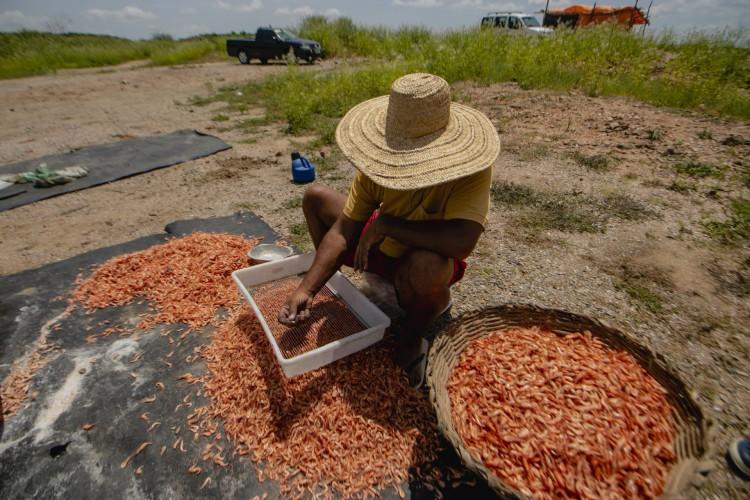 Homem faz a separação do camarão nas bordas do Açude do Castanhão, em Jaguaribara. Esse é um dos principais polos produtores de camarão do Brasil. (Foto: Aurelio Alves)