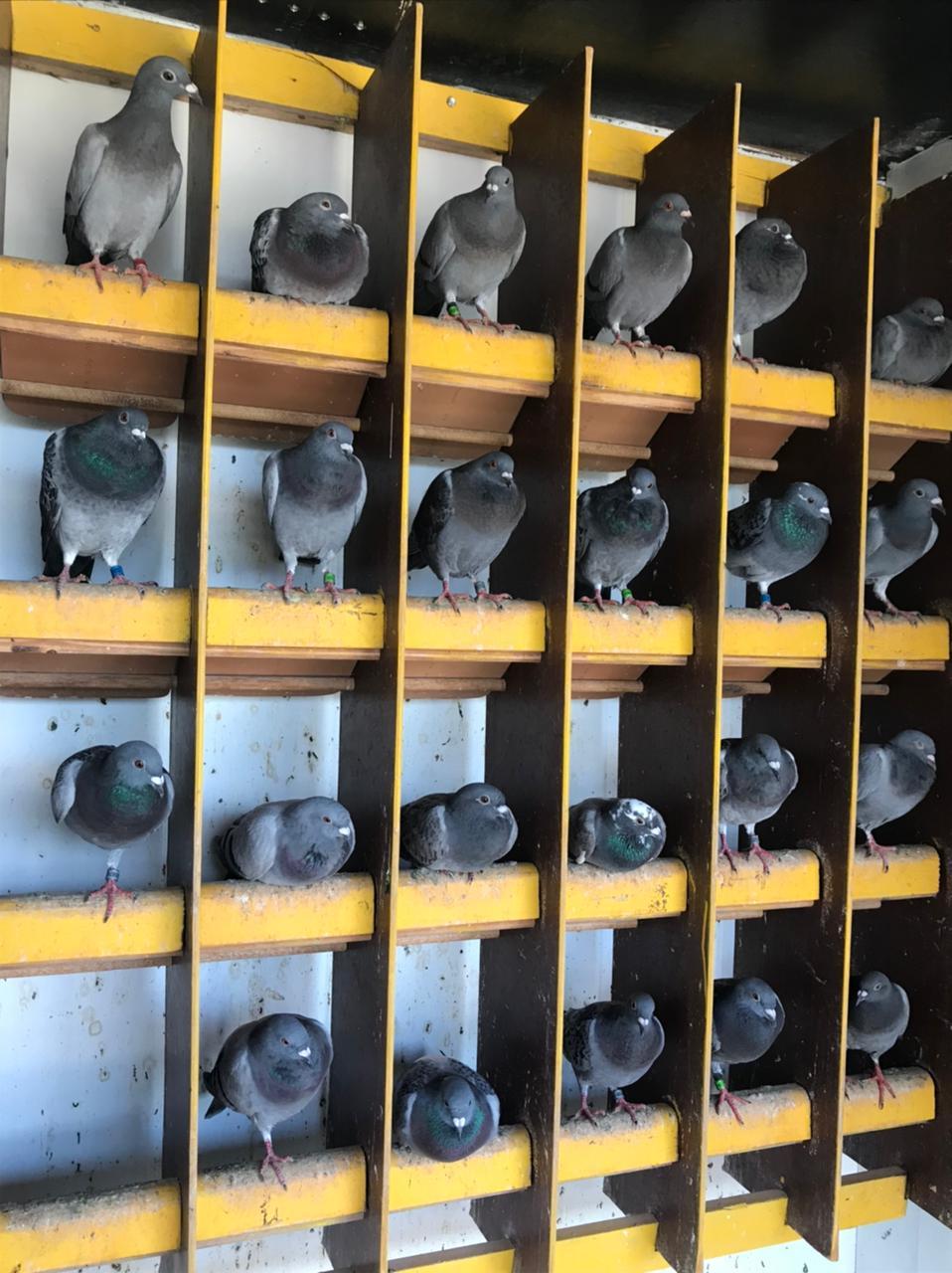 Sua importância era tal que a criação desses pombos-correio foi regulamentada pelo Ministério da Guerra
