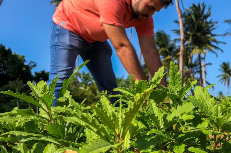 Plantação de mastruz no Ceará