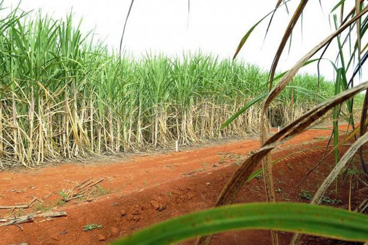 Rede de universidades federais lança 21 variedades de cana-de-açúcar (Foto: )