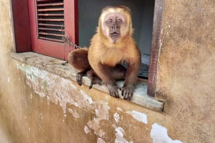 Macaco prego é resgatado após ser mantido acorrentado em residência em Trairi (Foto: Foto: Semace)