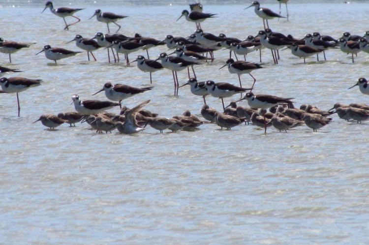 Bando de aves migratórias, que costumam frequentar a lagoa da Precabura, fogem das estações frias em longos voos durante o ano entre a América do Norte e a Patagônia (Chile-Argentina) ou vêm até da África e Ásia-Europa