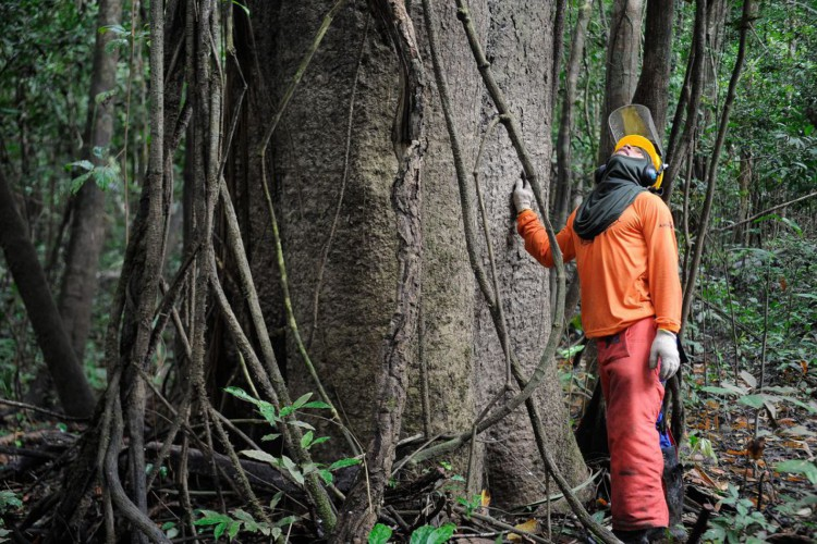 Na Reserva Mamirauá, pesquisadores e ribeirinhos buscam a sustentabilidade pelo manejo florestal  (Tomaz Silva/Agência Brasil) (Foto: Tomaz Silva/Agência Brasil)