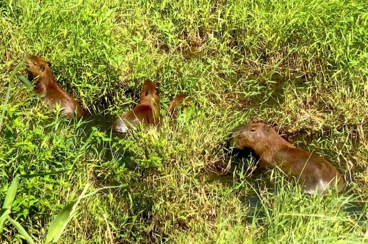 Capivara (Hydrochoerus hydrochaeris) na Lagoa da Precabura, em Fortaleza, ao lado da avenida Maestro Lisboa. 10/5/2021. Fortaleza-Ceará. Foto: Demitri Túlio