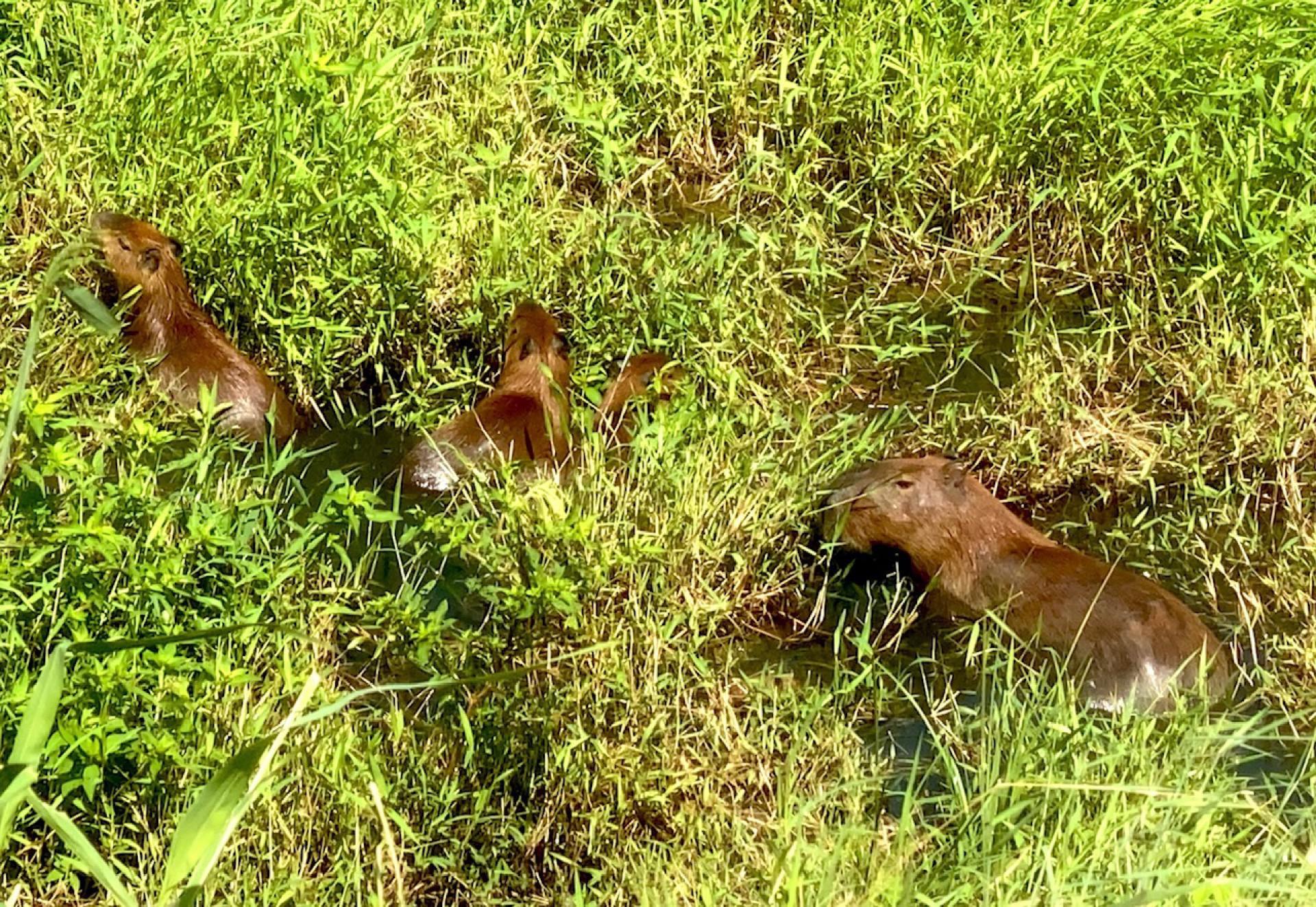 (Foto: Demitri Túlio)Capivara (Hydrochoerus hydrochaeris) na Lagoa da Precabura, em Fortaleza, ao lado da avenida Maestro Lisboa. 10/5/2021. Fortaleza-Ceará. Foto: Demitri Túlio