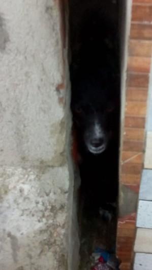 Uma cadela presa entre as paredes de duas casas foi resgatada pelo Corpo de Bombeiros em Maracanaú (Foto: Foto: Corpo de Bombeiros Militar do Ceará)