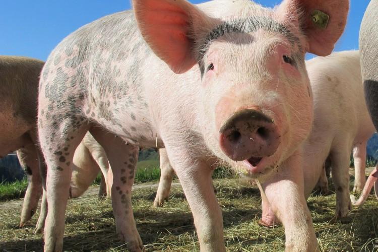 Os pesquisadores conduziram experimentos com camundongos, porcos e ratos  (Foto: Reprodução/Pixabay)
