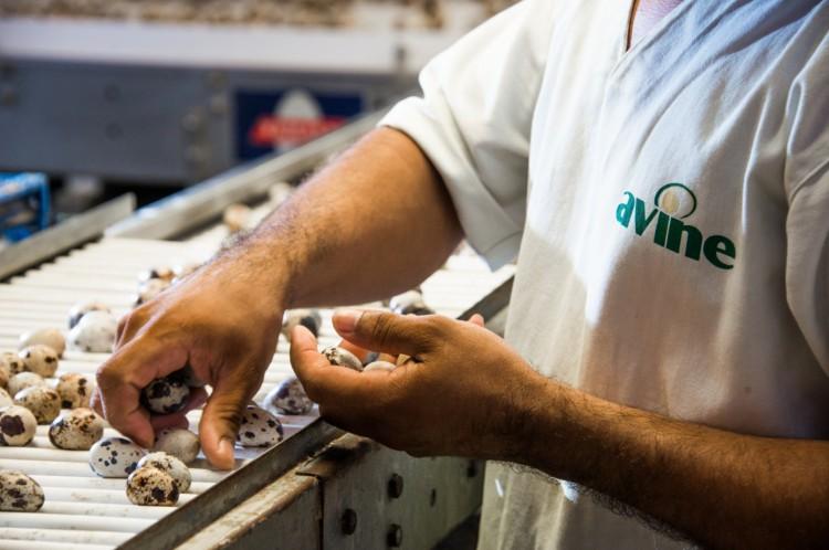 Produção de ovos de codorna da Avine