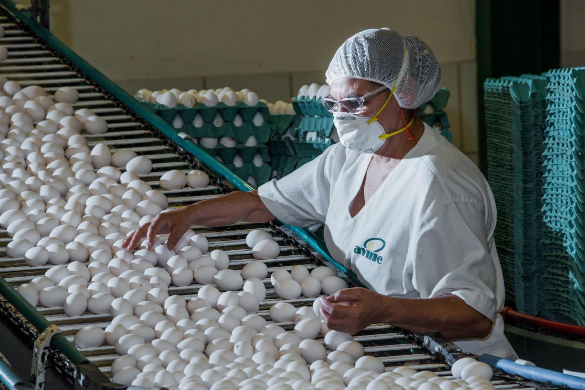 Produção de ovos de galinha da Avine
