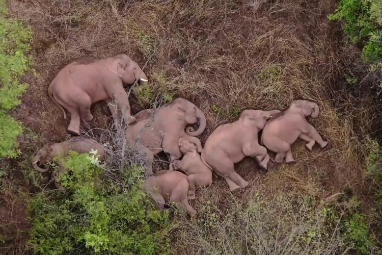 Esta imagem feita a partir de um vídeo feito pela China Central Television (CCTV) em 7 de junho de 2021 mostra elefantes, parte de uma manada que vagou 500 quilômetros ao norte de seu habitat natural, descansando em uma floresta perto de Kunming, na China (Foto: CCTV / AFP)