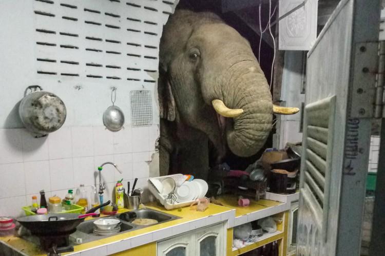 Boodchan contou que o elefantes destruiu a parede de sua cozinha em maio, criando uma espécie de cozinha