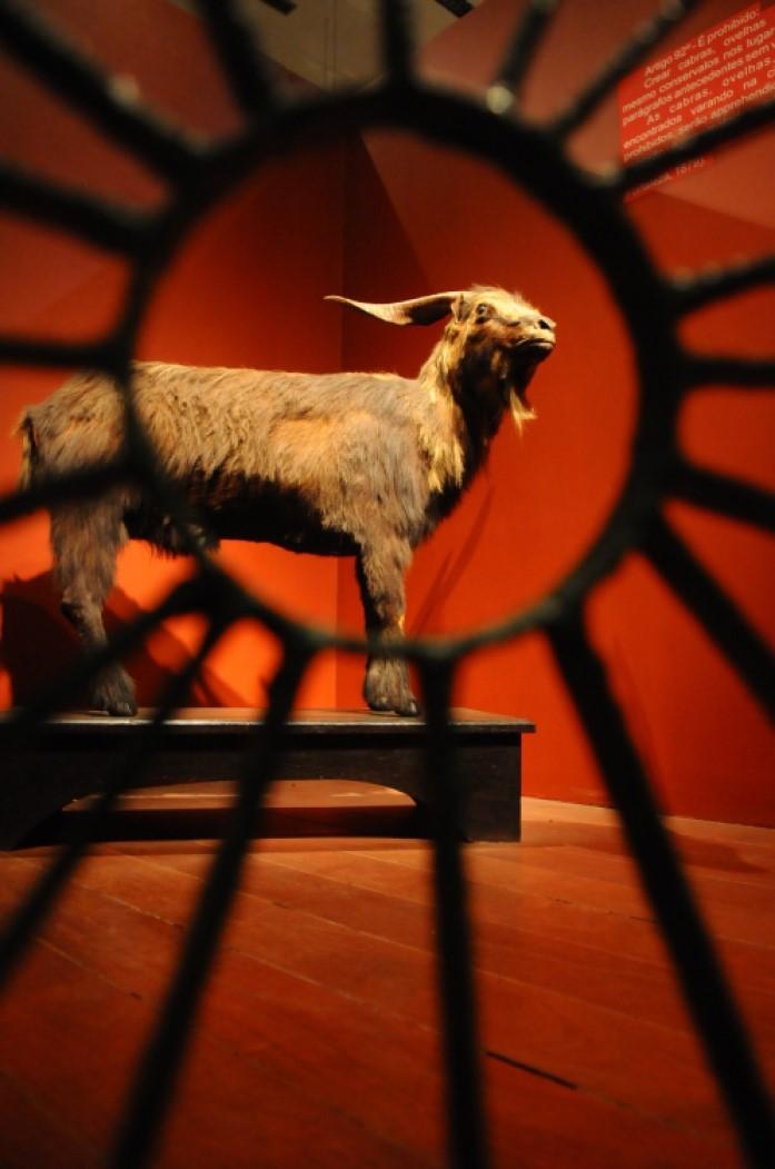 Bode Iôiô, empalhado, a peça mais querida e uma das mais famosas do acervo do Museu do Ceará