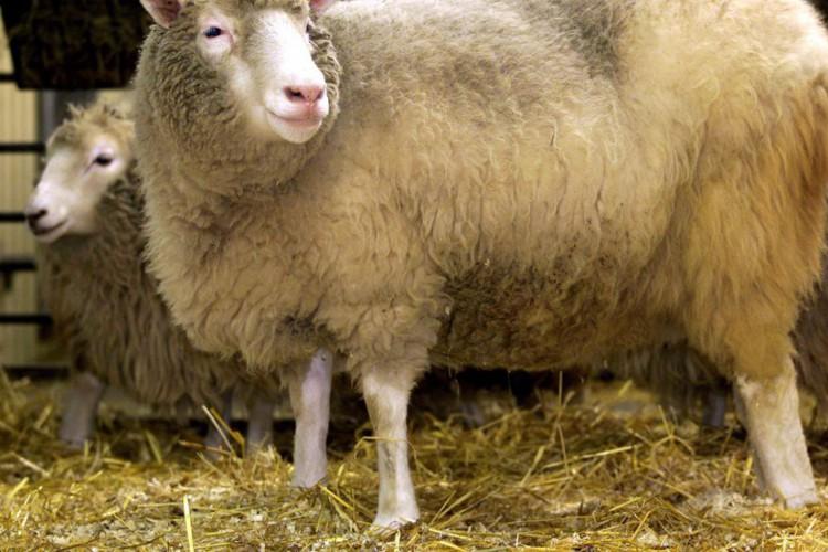 Primeiro mamífero clonado, Dolly completaria hoje 25 anos (Foto: )