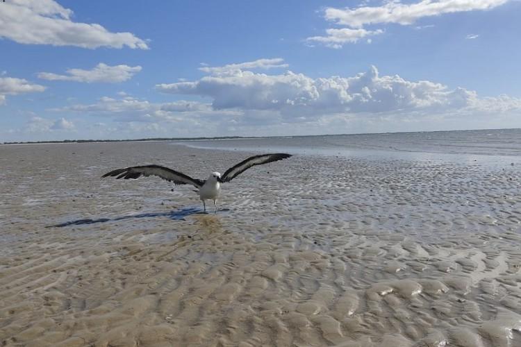 O voo do albatroz, animal que foi resgatado em praia no Trairi (Foto: PCCB/UERN)