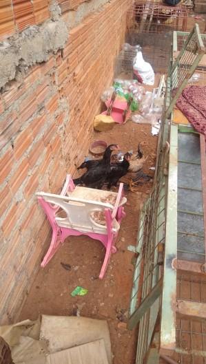 Rinha de galo é encerrada pela PM e 18 pessoas são conduzidas à delegacia em Juazeiro (Foto: Foto: Polícia Militar)