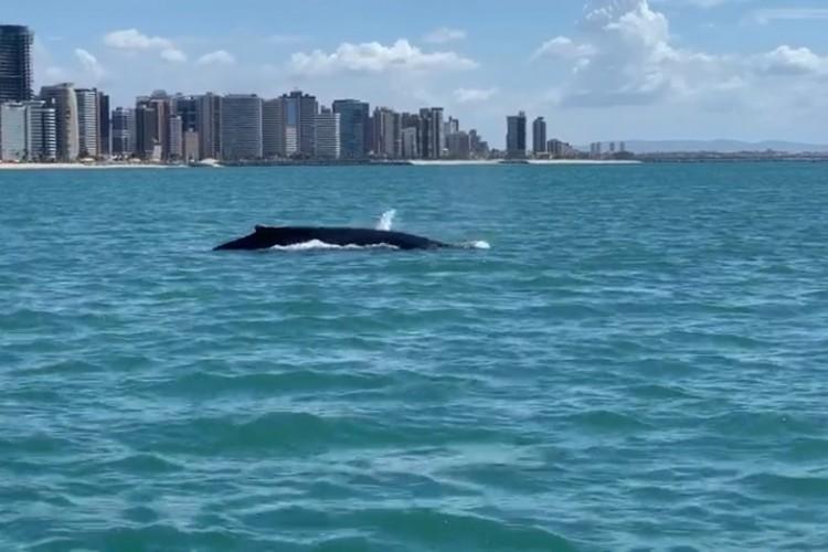 Baleia jubarte juvenil foi avistada na orla de Fortaleza neste sábado, 17 de julho (Foto: Aquasis/Reprodução)