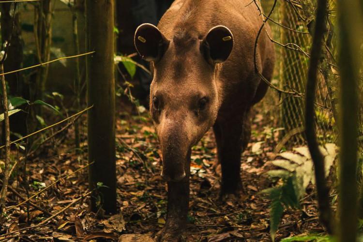 Anta Jasmim é solta na Reserva Ecológica de Guapiaçu para preservação da espécie (Foto: João Pedro Stutz/Projeto Guapiaçu)