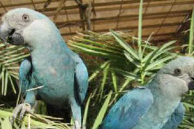 Foto das ararinhas nascidas em junho. (Foto: Denise Griesinger/ ICMBio/direitos reservados)