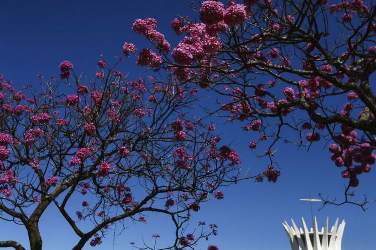 Florada dos ipês, em Brasília. (Foto: Marcelo Camargo/Agência Brasil)