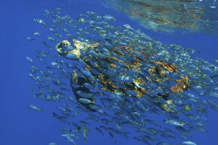Praia do Forte (BA) - O Projeto Tamar comemora 33 anos com a soltura do filhote de número 15 milhões simbolizando o número de tartaruguinhas soltas no mar desde a criação do projeto (Projeto Tamar/Abr) (Foto: Projeto Tamar/Abr)