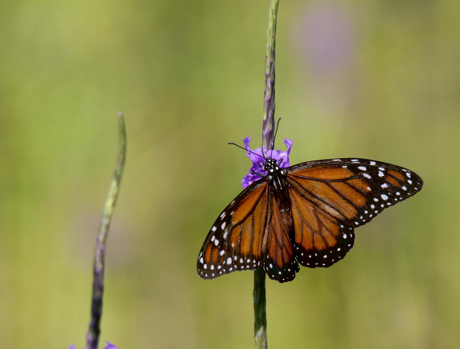 Borboleta-rainha ou Danaus gilippus espécie frequente nas flores de néctar dos biomas do Ceará-Brasil. O registro é às margens da lagoa da Precabura no território de Fortaleza (Foto: Demitri Túlio)
