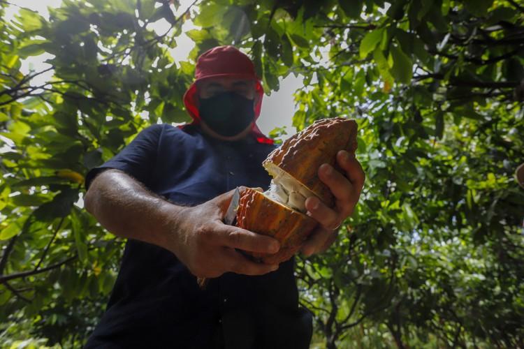 Plantação de cacau no Ceará