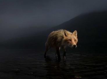 Raposa a procura de alimento no lago Karluk, no Alasca