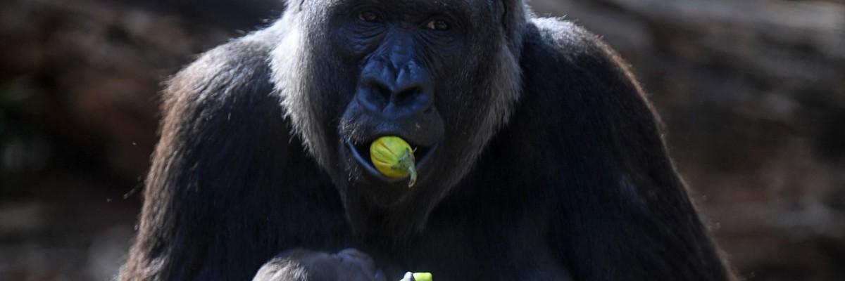 O gorila das planícies ocidentais Imbi e seu bebê gorila são vistos no zoológico de Belo Horizonte, Brasil, em 24 de setembro de 2021
