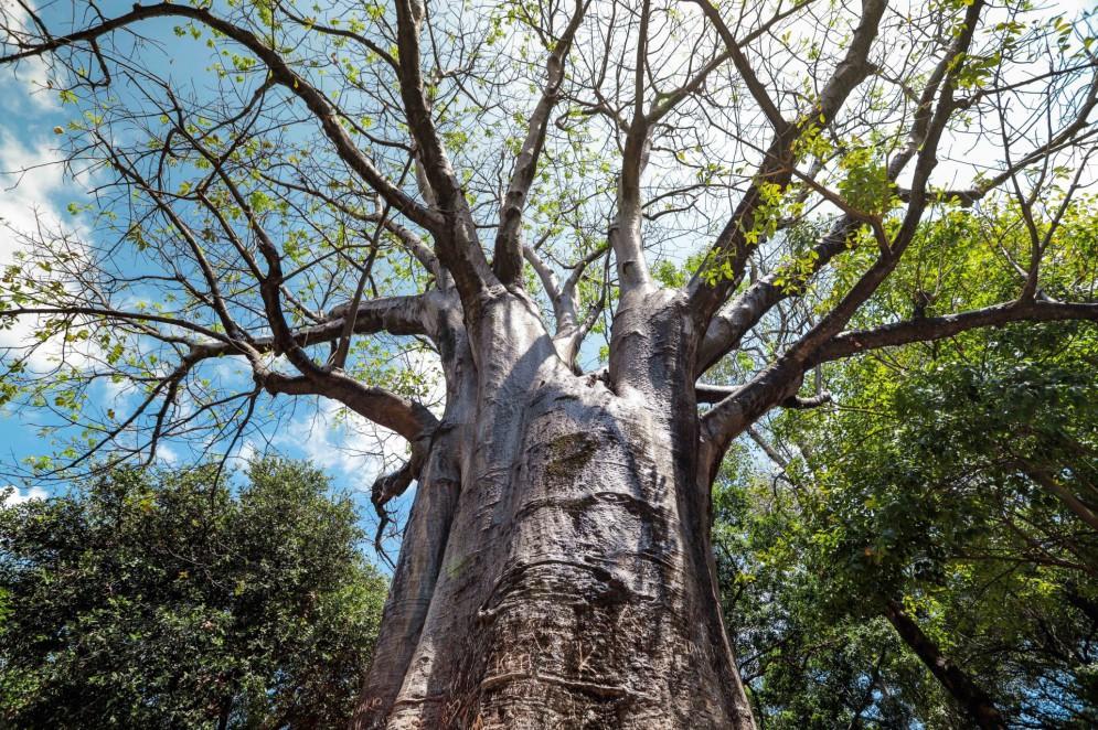 Baobá no Passeio Público no Centro de Fortaleza, em 2021.(Foto: FCO FONTENELE)