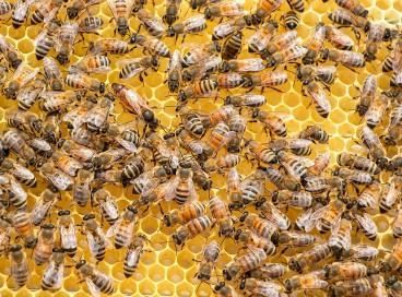 No Brasil, a estimativa é de que exista cerca de 300 espécies de abelhas, embora o território brasileira tenha a maior biodiversidades desses insetos