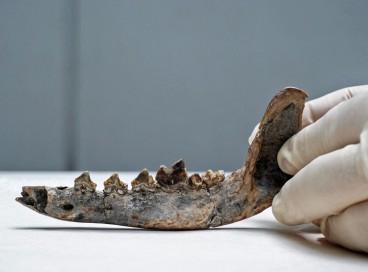 O fóssil de mandíbula poderia ser a chave para determinar que há 12.000 anos os cachorros habitaram a América Central