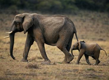 Antes que qualquer mamífero fosse ferido, um elefante matou o caçador ilegal, enquanto seus companheiros fugiam