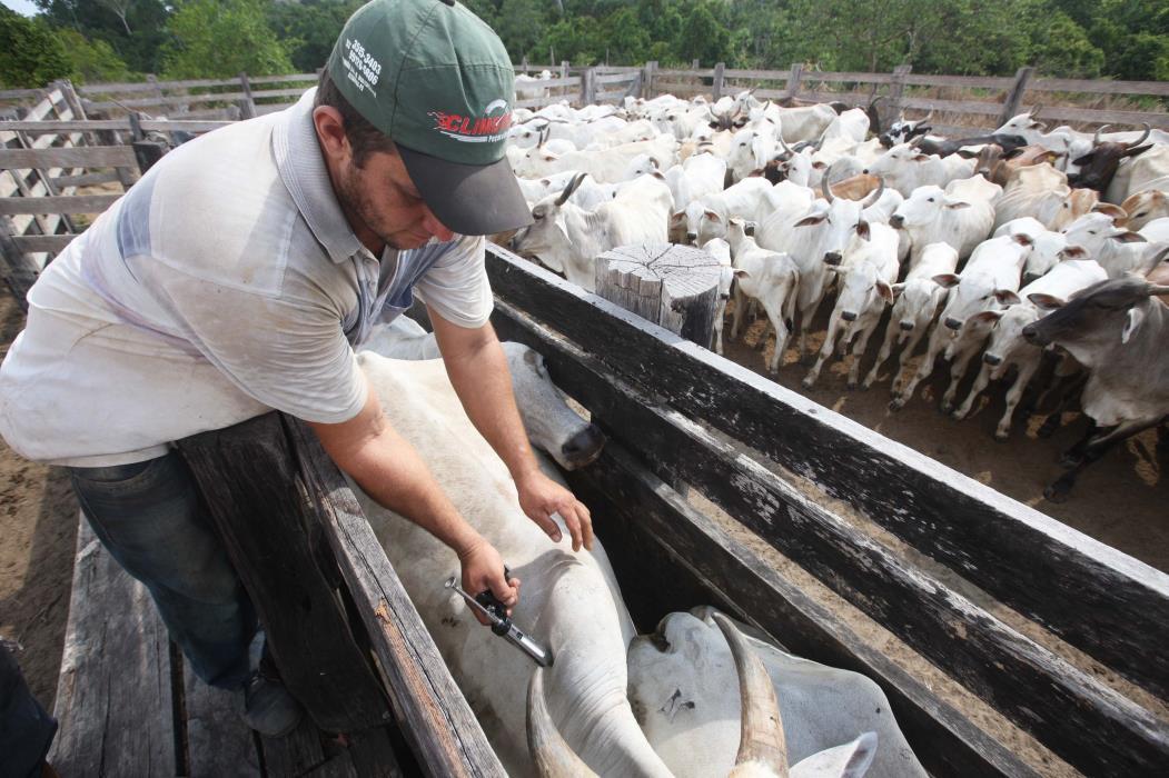 A meta é imunizar 40% do rebanho cearense, aproximadamente 950 mil bovinos e bubalinos.   (Foto: Sidney Oliveira/AG. Pará)