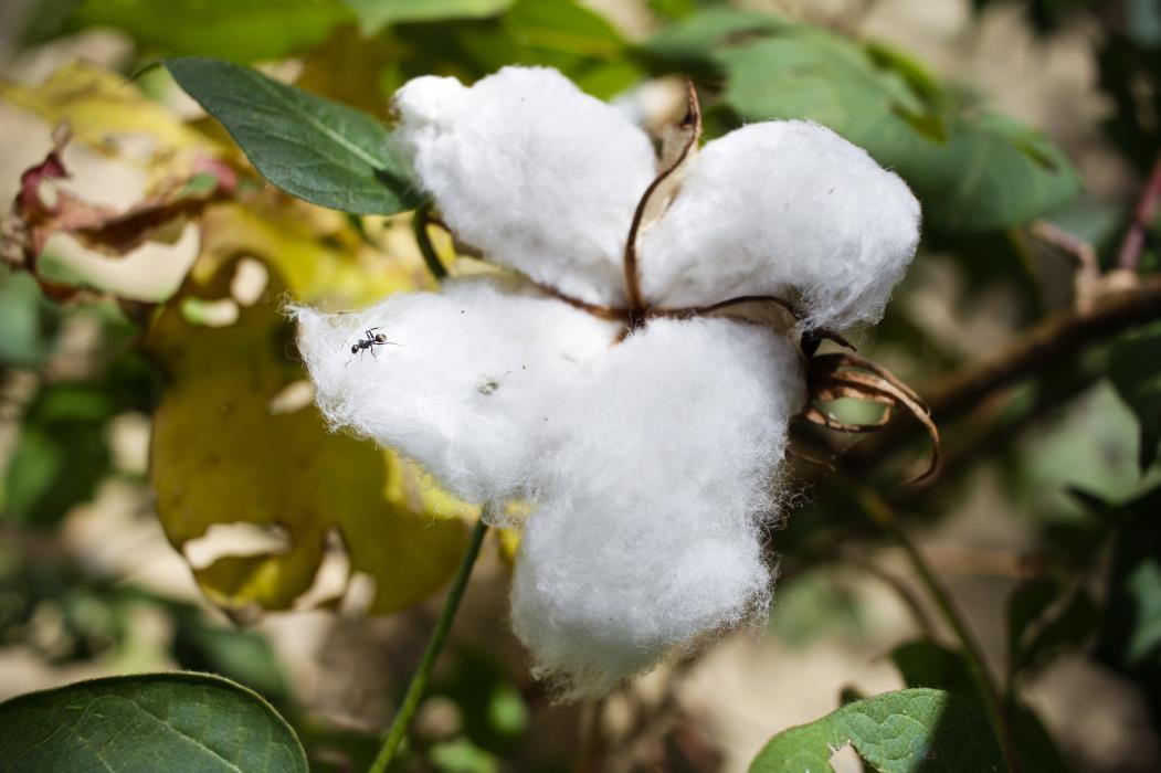 Ceará colhe algodão utilizando tecnologia