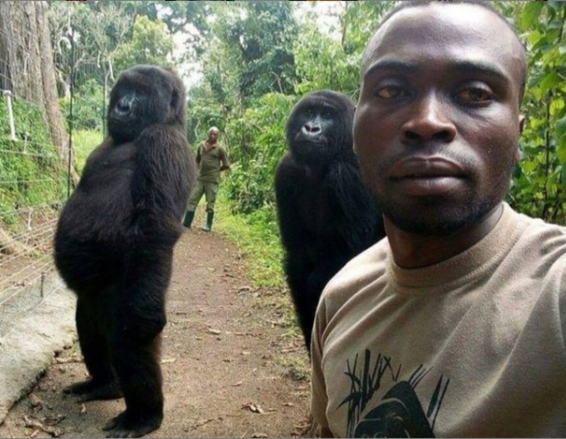 A foto ganhou compartilhamento em diversas redes sociais. Os gorilas foram resgatados quando filhotes pelos mesmo guardas florestais.